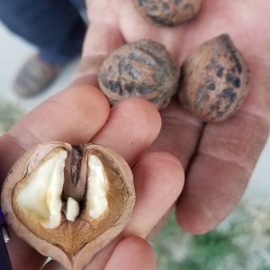 Nut Markets for Indiana Food Businesses