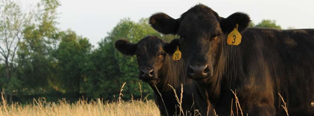 Crowl Cattle